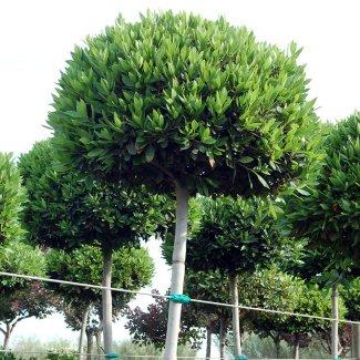 Prix en c te d 39 ivoire de u de arbre feuillage persistant g n rateur de prix de la - Arbre a feuille persistant ...